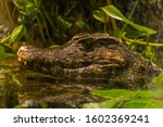 Alligator Portrait Floating In...