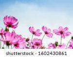 Close Up Pink Vivid Color...