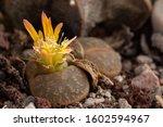 Close Up Of Lithops Flower Or...