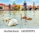 Swans In Prague  River Vltava...