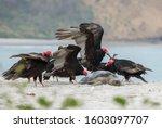 American Black Vulture ...