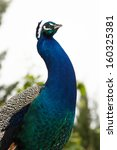Closeup portrait of a peacock posing in profile. - stock photo