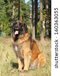 Leonberger Dog Sits On Grass....