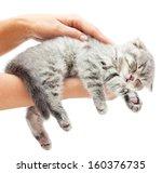 Stock photo sleeping kitten on hand white background british shorthair cat 160376735