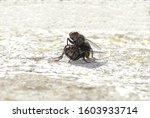 Flesh Flies Mating Close Up....