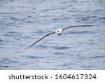 Small photo of Antipodean albatross (Diomedea antipodensis) flying over the New Zealand subantarctic Pacific Ocean. Heading towards the ship.