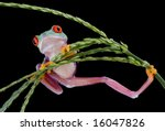 A Baby Red Eyed Tree Frog Is...