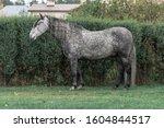 Grey Dappled Andalusian Breed...