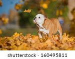 Stock photo english bulldog puppy looking at falling leaf in autumn 160495811