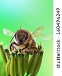 Honey Bee Sits On Inflorescenc...
