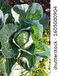 White Cabbage  Brassica...