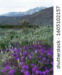 Desert Wildflowers Blooming In...