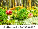 Amanita Fly Agaric Mushrooms I...