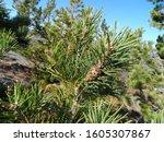 Pine cones on the mountain Listvyaga.
