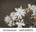 White And Pink Flowers Of...
