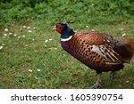 Wild Ring Necked Pheasant...