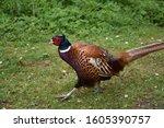 Stunning Male Pheasant...