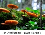 Orange Mushrooms On Tree Trunk...