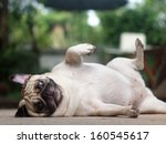 White Fat Lovely Pug Dog Layin...