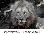 Majestic One Eyed Male Lion...
