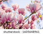 Magnolia Tree Blossom In...