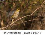 The Yellow Plumed Honeyeater I...