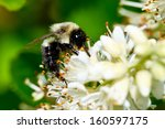 Bee Gathering Pollen From A...