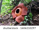Full Bloomed Rafflesia Arnoldii ...