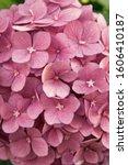 Flower Scent. Hydrangea Summer...