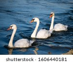 Three Swans Swimming In...