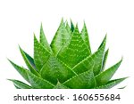 aloe isolated on white... | Shutterstock . vector #160655684
