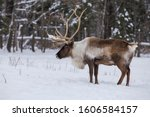 Boreal woodland caribou in winter (Rangifer tarandus caribou)