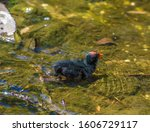 Coot Chick  Baby Coot In A...