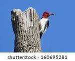 Red Headed Woodpecker ...