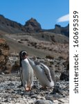 Small photo of A pushy baby Gentoo Penguin and its mother at Brown Bluff, Antarctica