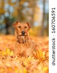 irish terrier in autumn | Shutterstock . vector #160706591
