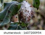 Close Up On Milkweed Seed Pod...