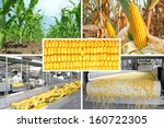 Corn production, collage - stock photo