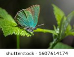 Portrait Of A Green Hairstreak  ...