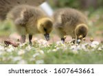 Baby Greylag goose goslings eating daisies in a meadow during spring at the wildfowl and wetlands trust visitor centre at Slimbridge, UK