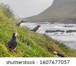 Colony Of Wildlife Puffin Bird...