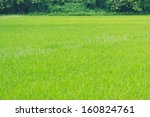 rice field background | Shutterstock . vector #160824761