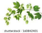Stock photo twig with hop 160842401