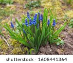 Bell Shaped Blue Flowers  With...