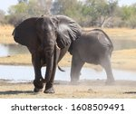 African Elephant  Covered In...
