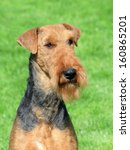 Small photo of The portrait of typical Airedale Terrier