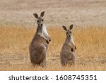 Two Red Kangaroos In The...