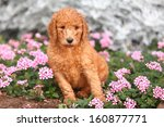 A Standard Poodle Puppy Sits...