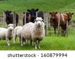 Small photo of New Zealand live stock, sheep and cattle on a farm