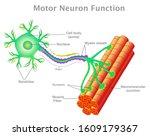 motor neuron function....   Shutterstock .eps vector #1609179367